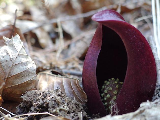 早春の花ザゼンソウを訪ねて〜甲州市の小倉山へ