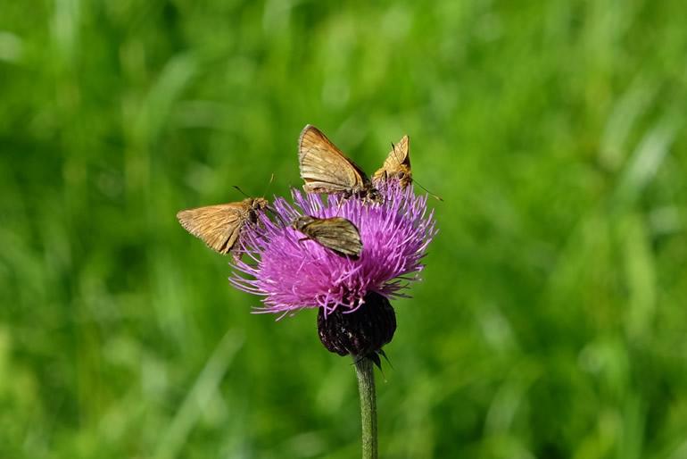 ノアザミと蝶々